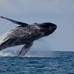 Hump-Back Whale, whale watching tour, tours and activities offered at EOC